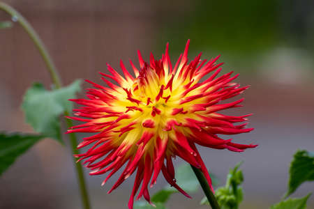 Red and yellow dahlia in the autumn garden