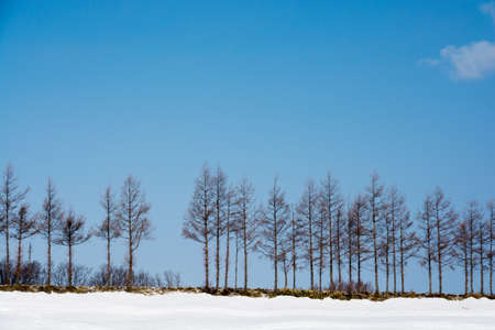 Row of larch trees in the snowy field on a sunny winter day