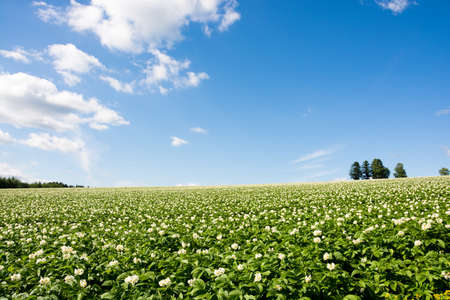 Flowered potato field with the blue sky