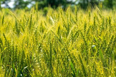 Close-up of shining green wheat ears