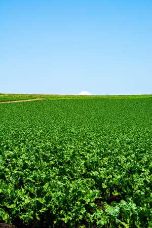 Green vegetable field in Summer