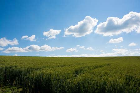Summer green wheat field with blue sky Stock fotó