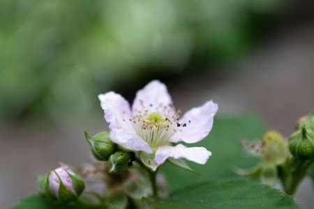 Pink cute blackberry flower in summer