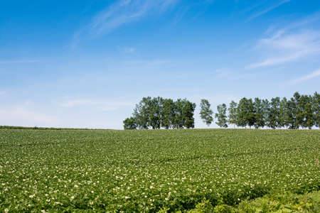 Summer potato field full of flowers with row of birch trees Stock fotó