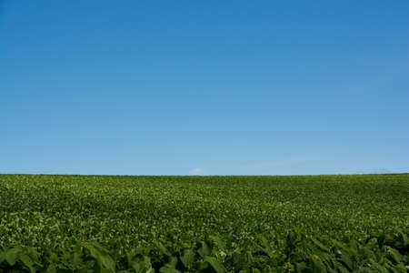 Summer green vegetable field with the blue sky