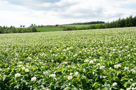 Potato field with white flowers in full bloom