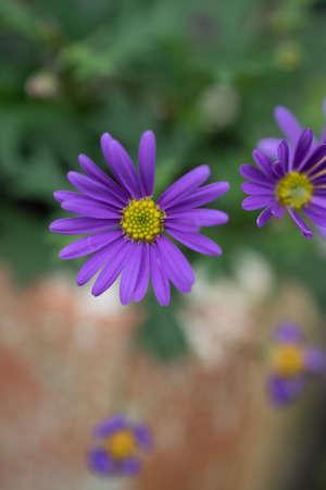 Beautiful purple chrysanthemum flowers in the summer garden