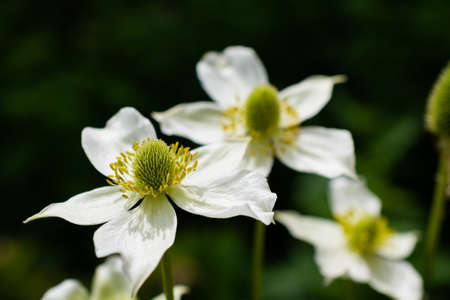 White anemone flowers blooming in the summer garden