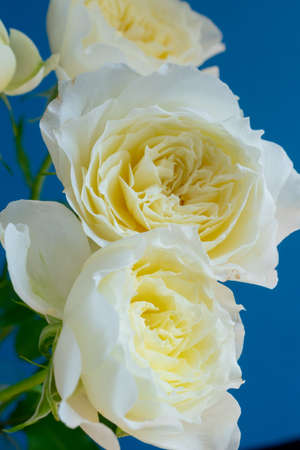 White roses on blue background Stock fotó