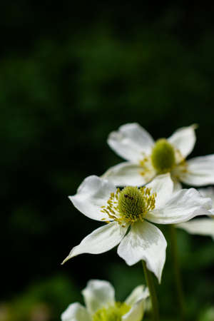 White anemone flower on black background