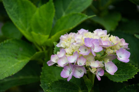 Lilac hydrangea blooming in the summer garden