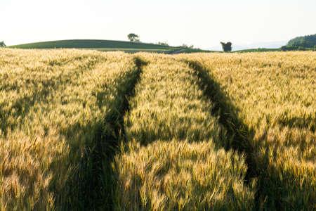 Golden wheat field reflecting the setting sun Stock fotó