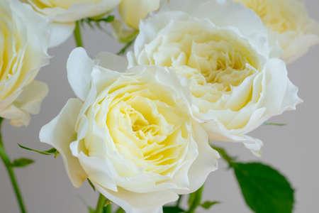 White roses on white background Stock fotó