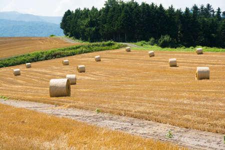Wheat rolls in the field after mowing Stock fotó