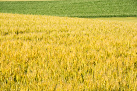 Green and yellow colorful summer wheat field Stock fotó