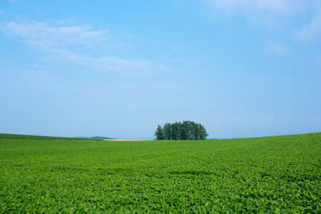 Summer green soybean fields and larch forest with blue sky