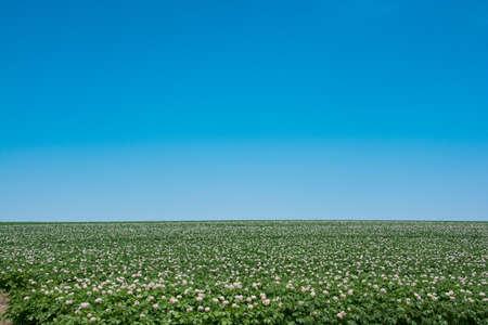 Potato field with purple flowers and blue sky Stock fotó