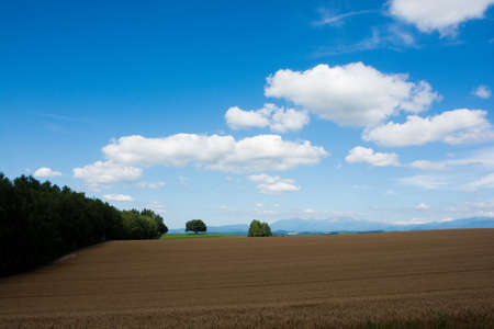 Wheat field before harvest with blue sky Stock fotó