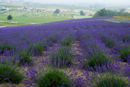 Lavender field in full bloom