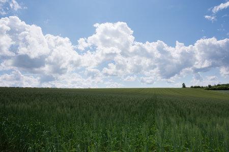 Green wheat field in summer