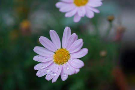 Beautiful pink chrysanthemum flowers in the summer garden Stock fotó