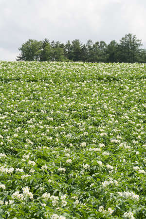 Summer potato field with blooming flowers
