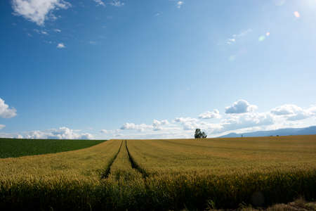Wheat field in summer with the blue sky