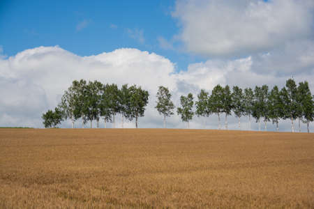 Golden wheat field and green birch row of trees