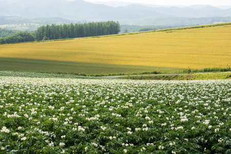 Flowered potato and wheat fields in summer