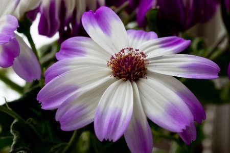 White chrysanthemum with purple border