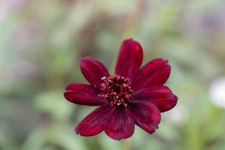 Purple cosmos flower in the summer garden