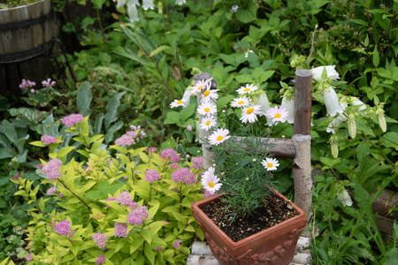 Potted daisies in the summer garden