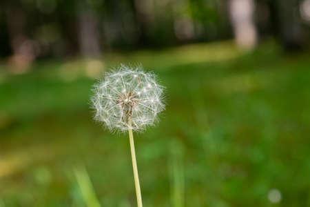 White soft dandelion fluff in the field
