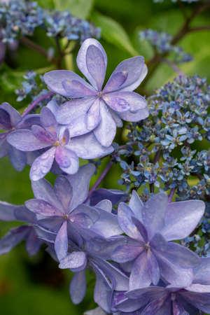Purple hydrangea in the garden in early summer