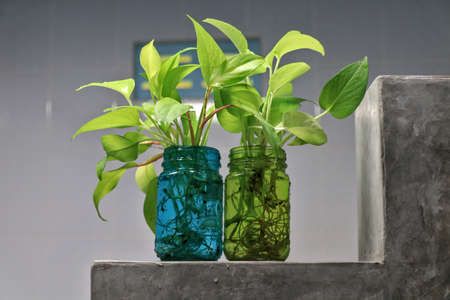 Golden pothos (Scindapsus aureus) add a touch of freshness to the bathroom. Planted in a clear, square glass. Banque d'images