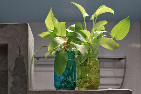 Golden pothos (Scindapsus aureus) add a touch of freshness to the bathroom. Planted in a clear, square glass.