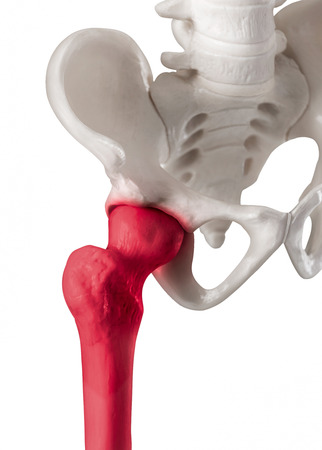 Human hip joint with red highlight on Femur or Thigh bone pain area-Healthcare-Human Anatomy and Medical concept-Isolated on white background. Stock Photo