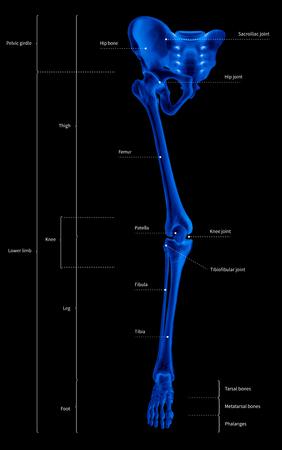 Infographic diagram of human skeleton lower limb anatomy bone system or leg bone anterior view-3D- medical illustration- human anatomy- medical diagram- educational concept- x-ray blue tone color film
