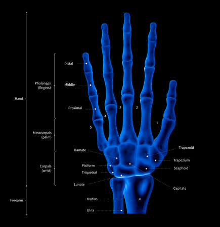 Infographic diagram of human hand bone anatomy system anterior view- 3D- medical illustration- human anatomy- medical diagram- educational concept- x-ray blue tone color film Banque d'images - 109027917