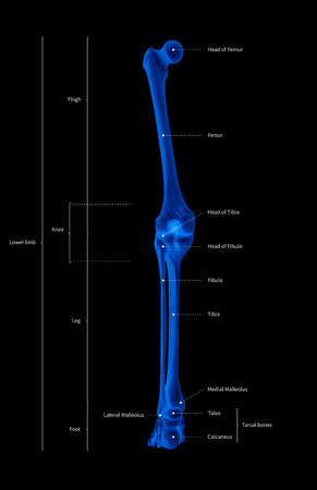 Infographic diagram of human skeleton lower limb anatomy bone system or leg bone posterior view-3D-medical illustration- human anatomy- medical diagram- educational concept- x-ray blue tone color film