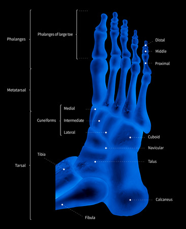 Infographic diagram of human foot bone anatomy system lateral view- 3D- medical illustration- human anatomy- medical diagram- educational concept- x-ray blue tone color film