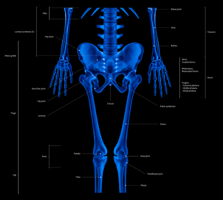 Infographic diagram of lower half human skeleton anatomy system anterior view- 3D- medical illustration- human anatomy- medical diagram- educational concept- x-ray blue tone color film