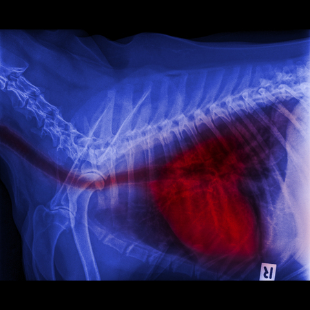 X-ray of dog lateral view closed up in thorax and chest with red highlight in respiratory system trachea to lungs signs of pneumonia and bronchitis- veterinary medicine and Veterinary anatomy
