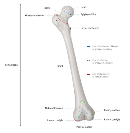 Infographic diagram of human femur bone or leg bone anatomy system anterior view- 3D- Human Anatomy- Medical Diagram- educational and Human Body concept- Isolated on white background Imagens