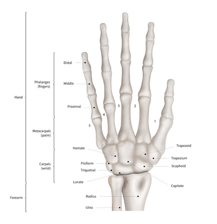Infographic diagram of human hand bone anatomy system anterior view- 3D- Human Anatomy- Medical Diagram- educational and Human Body concept- Isolated on white background