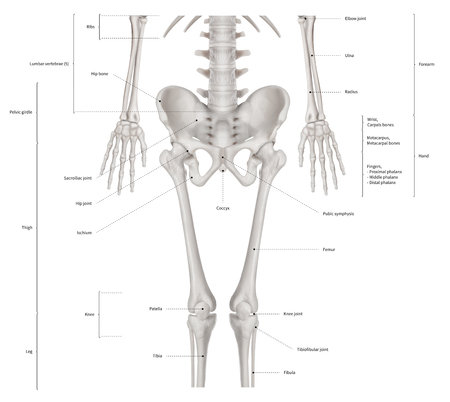 Infographic diagram of lower half human skeleton anatomy system anterior view- 3D- Human Anatomy- Medical Diagram- educational and Human Body concept- Isolated on white background Imagens