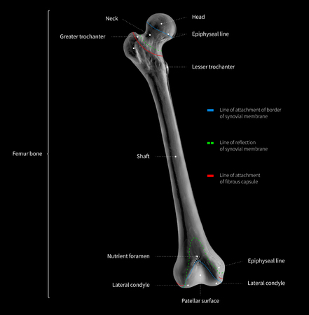 Infographic diagram of human femur bone or leg bone anatomy system anterior view- 3D- Human Anatomy- medical diagram- educational and human body concept- black and white x-ray color film Imagens