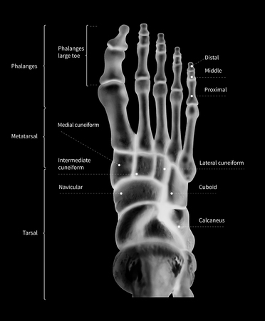 Infographic diagram of human foot bone anatomy system anterior view- 3D- human anatomy- medical diagram- educational and human body concept- black and white x-ray color film