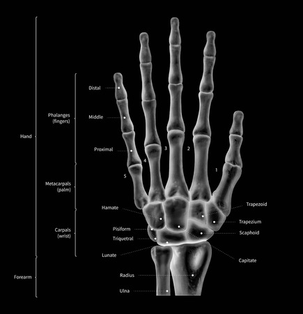 Infographic diagram of human hand bone anatomy system anterior view- 3D- human anatomy- medical diagram- educational and human body concept- black and white x-ray color film