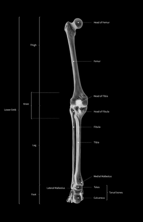 Infographic diagram of human skeleton lower limb anatomy bone system or leg bone posterior view-3D- human anatomy- medical diagram- educational and human body concept- black and white x-ray color film Imagens